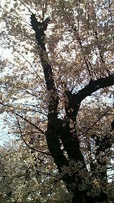 ラブ探偵事務所付近の桜も満開